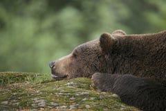Brown bear - Ursus arctos Stock Photos