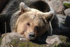 Brown bear (Ursus arctos) Royalty Free Stock Photos