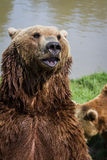 Brown bear - ursus arctos Stock Photos
