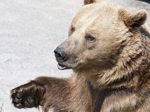 Brown bear (Ursus arctos arctos) Royalty Free Stock Photo