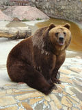 Brown bear Ursus arctos arctos. Rocky coast on which the brown bear Ursus arctos arctos sits stock photo