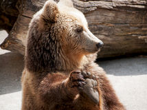 Brown bear (Ursus arctos arctos) holds his paw Royalty Free Stock Image