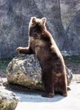 Brown bear (Ursus arctos arctos), humorous animal scene Royalty Free Stock Photography