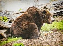 Brown bear - Ursus arctos arctos - posing and eating apples, ani Stock Image