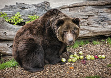 Brown bear - Ursus arctos arctos - posing and eating apples. Brown bear - Ursus arctos arctos - posing and eating green apples. Animal theme. Teddy bear Royalty Free Stock Photo