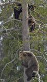 Brown Bear (Ursus arctos) with Bear-cubs on a Pine tree. Royalty Free Stock Photography