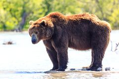 Brown bear Ursus arctos beringianus fishing on the Kurile Lake. Kamchatka Peninsula, Russia stock image