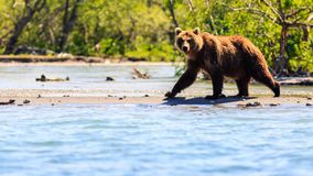 Brown bear Ursus arctos beringianus fishing on the Kurile Lake. Kamchatka Peninsula, Russia royalty free stock photography