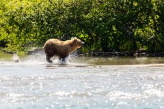 Brown bear Ursus arctos beringianus fishing in the lake. Kamchatka, Russia stock photography