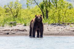 Brown bear Ursus arctos beringianus fishing in the river. Kamchatka, Russia stock photos