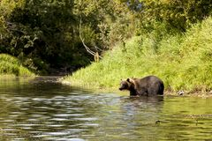 Brown bear Ursus arctos beringianus fishing in the river. Kamchatka, Russia royalty free stock photos