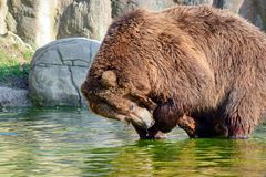 Brown Bear Ursus Arctos Beringianus Playing with Branxh in Water stock photo