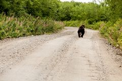 Brown bear Ursus arctos beringianus running on the road. Kamchatka, Russia stock images