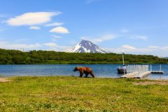 Brown bear Ursus arctos beringianus walking near Kurile Lake against the background of the volcano Ilyinsky . Kamchatka royalty free stock photography