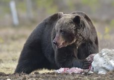 Brown Bear (Ursus arctos) with the blood-stained muzzle Stock Photos