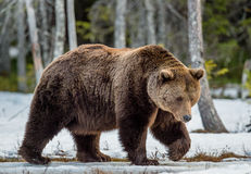 Brown Bear Ursus arctos on a bog in the spring forest. Close up portrait of adult male Brown Bear on a snow-covered swamp in the spring forest. Eurasian brown Royalty Free Stock Photos