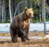 Brown Bear Ursus arctos on a bog. Spring forest. Brown bear Ursus arctos standing on his hind legs on a swamp in the spring forest Stock Photos