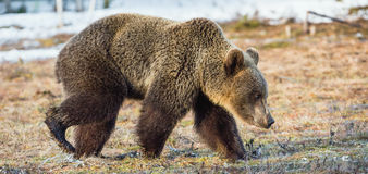 Brown Bear Ursus arctos on a bog. Spring forest. Stock Photography