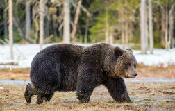 Brown Bear Ursus arctos on a bog. Wild Adult Brown Bear Ursus arctos on a bog in spring forest Royalty Free Stock Photos