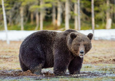 Brown Bear Ursus arctos on a bog. Wild Adult Brown Bear Ursus arctos on a bog in spring forest Royalty Free Stock Image
