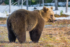 Brown Bear Ursus arctos on a bog. Wild Juvenile Brown Bear Ursus arctos on a bog in spring forest Stock Photography