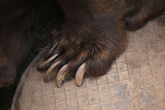 Brown bear (Ursus arctos) claw. Stock Image