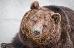 The brown bear Royalty Free Stock Photo