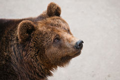 The brown bear Stock Photo