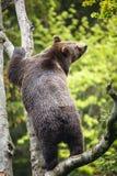 Brown bear (Ursus arctos) Stock Photo