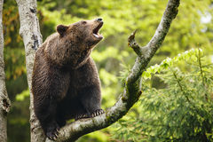 Brown bear (Ursus arctos) Royalty Free Stock Images