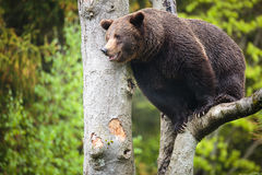 Brown bear (Ursus arctos). Brown bear  crawling on the tree(Ursus arctos Stock Image