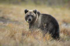 Brown Bear - Ursus arctos. Brown Bear cub walking in Nordic forest Royalty Free Stock Photos