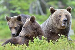 Brown Bear (Ursus arctos) with cubs in the summer forest. She-bear and bear-cubs. Adult female of Brown Bear (Ursus arctos) with cubs in the summer forest Stock Images