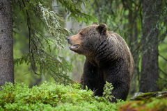 Brown Bear, Ursus arctos, in deep green european forest. A close up photo of a wild, big male, Brown Bear, Ursus arctos, in deep green european forest, carefully stock photos