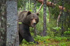 Brown Bear, Ursus arctos, in deep green european forest. A close up photo of a wild, big male, Brown Bear, Ursus arctos, in deep green european forest, carefully stock images
