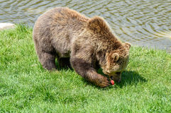 Brown Bear (Ursus arctos) eating apples on a meadow Royalty Free Stock Photos