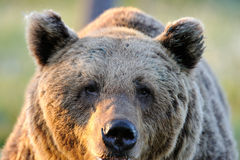 Brown bear (Ursus arctos) face Royalty Free Stock Images