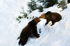 Brown Bear, Ursus arctos fighting Royalty Free Stock Images