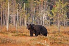 Brown bear, ursus arctos, Finland. Bear, forest, brown,black Royalty Free Stock Photo