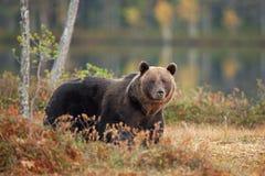 Brown bear, ursus arctos, Finland. Fur, bear, travel, lake Stock Images
