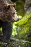 Brown bear (Ursus arctos). In forest Stock Photo