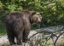 Brown bear - Ursus arctos Royalty Free Stock Images