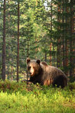 Brown bear Ursus arctos. In forest Royalty Free Stock Photos