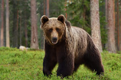 Brown bear Ursus arctos. In forest Stock Images