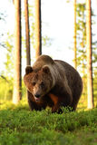 Brown bear Ursus arctos. In forest Stock Photo