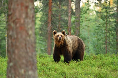 Brown bear ursus arctos in a forest. Landscape Royalty Free Stock Images