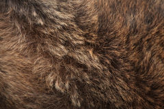 Brown bear (Ursus arctos) fur texture. Royalty Free Stock Photo
