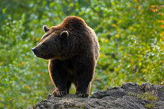 Brown bear, Ursus arctos, hideen behind the tree trunk in the forest. Face portrait of brown bear. Bear with open muzzle with big Stock Images