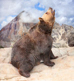 The Brown bear (Ursus Arctos). Stock Photography
