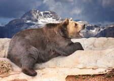 The Brown bear (Ursus Arctos). Royalty Free Stock Photo